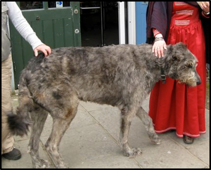 Size Comparison, Irish Wolfhound