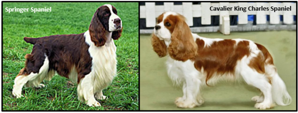 Springer Spaniel (left) & Cocker Spaniel (right)