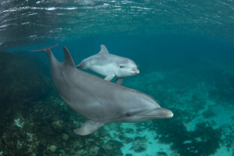 Mother & Calf (Bottlenose)