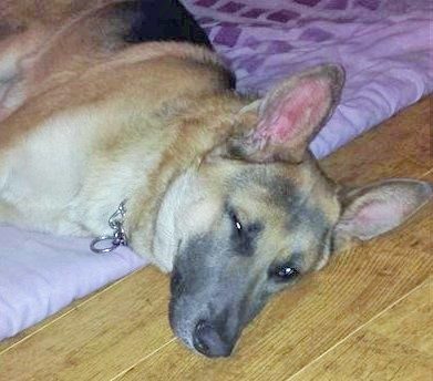 Snoozing Rescued GSD
