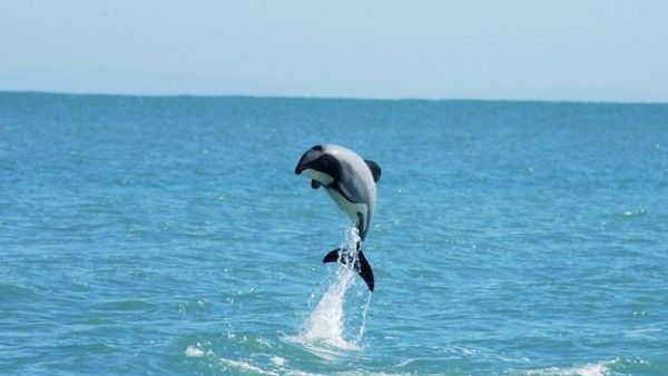 Maui's Dolphin - image is open source
