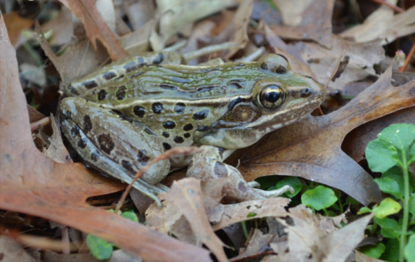 Atlantic Coast Leopard Frog (open source: Wikipedia)