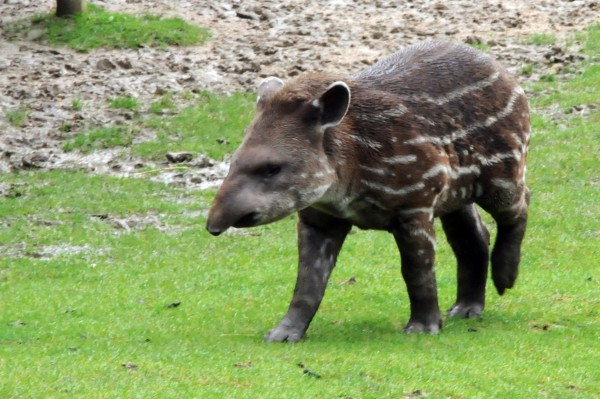 Baby Tapir (Open Source Image)