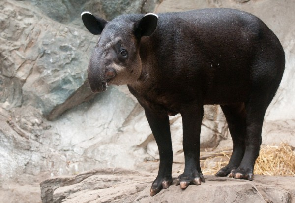 Baird's Tapir (Open Source Image)