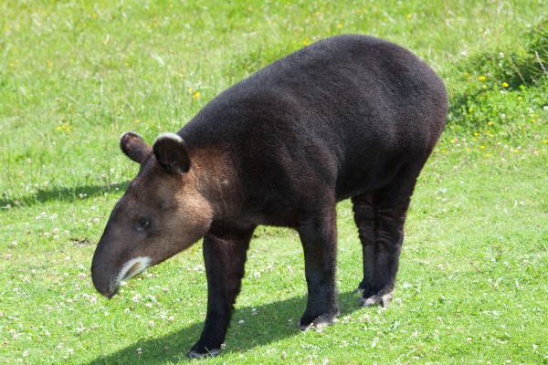 Mountain Tapir (Open Source Image)