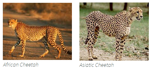 cheetah african and asian