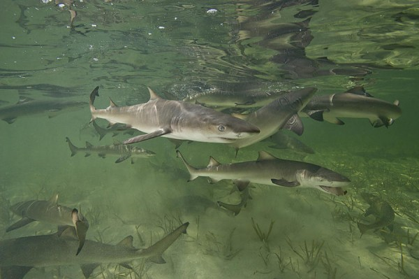 Lemon Shark group