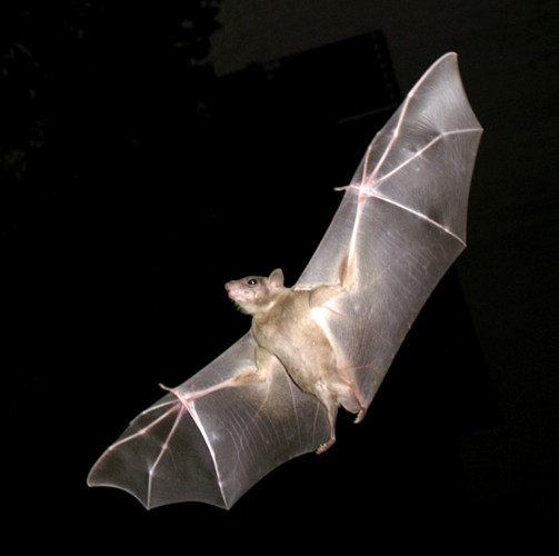 Common Fruit Bat (open source image)