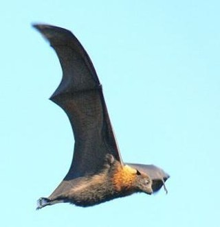 Giant Flying Fox (open source image)
