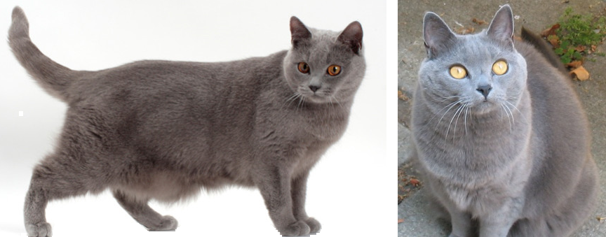 Alphabetical First Breed Of Cat