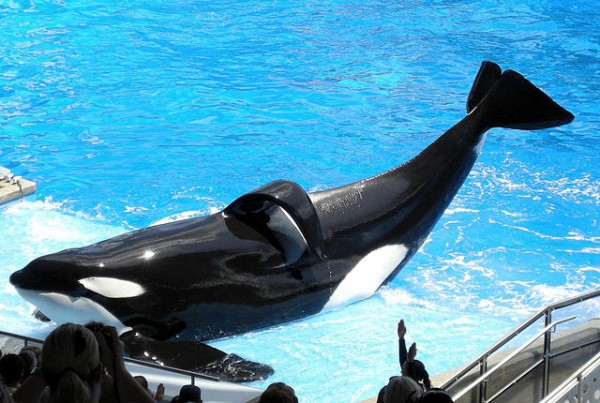 Shamu: Tilikum - open source image