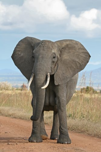 African Elephant (Open Source Google Image)