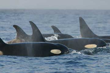 Wild Orca Pod - open source image