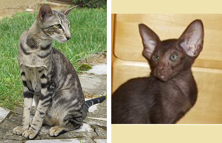 A Z Of Cat Breeds Ali S Answers