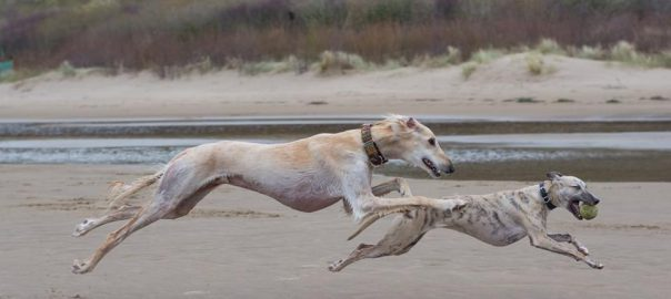 Dog groups: Hounds – Sighthounds