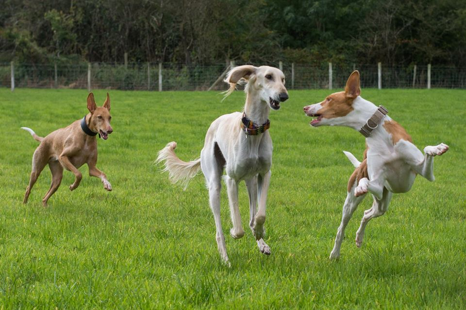 Sighthounds playing (TMSHG)