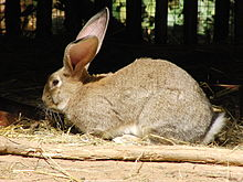 Another A-Z: Rabbit Breeds (2)